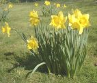 some pictures of daffodils
